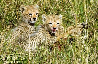 Cheetah cubs at Porini Lion Camp