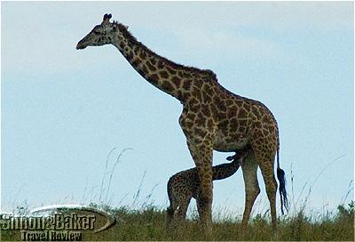 A baby giraffe feeding at Porini Lion Camp