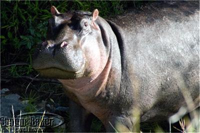 A hippo at Porini Lion Camp