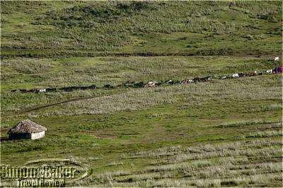 Masai shepherds guide their cattle down the outer edge of the Ngorongoro Crater