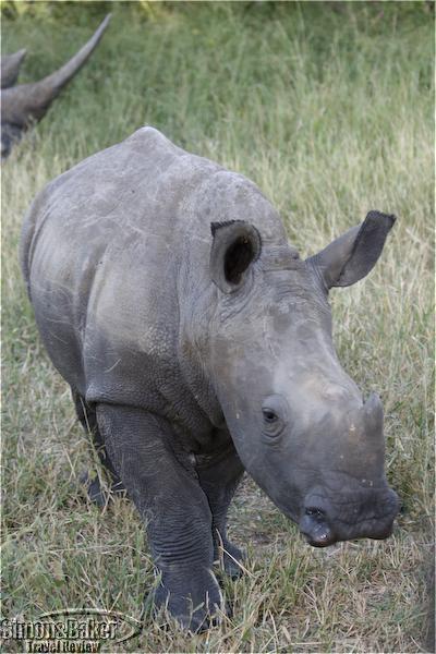 White rhino in Thornybush reserve