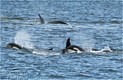 Orca whales frolicked by our ship