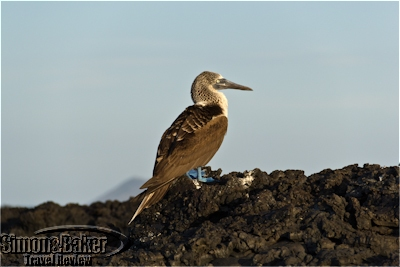 A blue-footed booby near Isabela Island