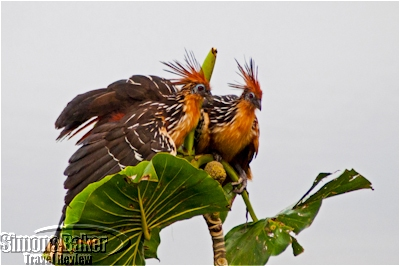 Hoatzin birds are a frequent sight near the lodge