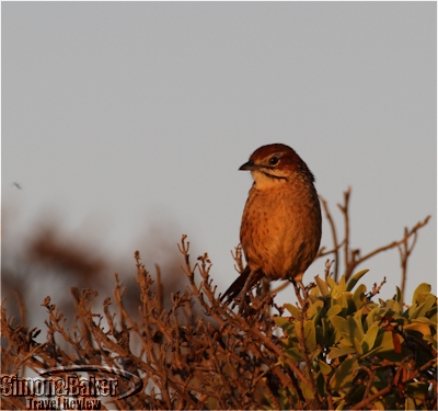 Shy little birds were out early at first light