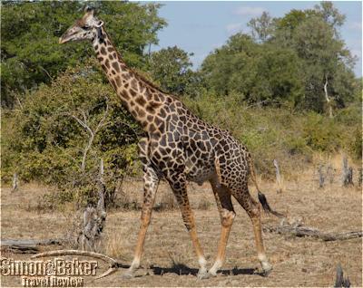 Giraffe on a drive from Chinzombo camp