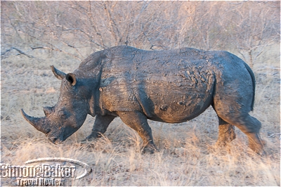 A rhino was caked with mud after a visit to a water hole