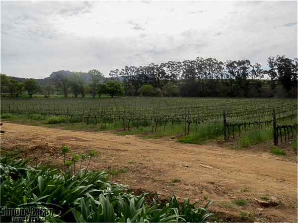The vineyards at Klein Constantia
