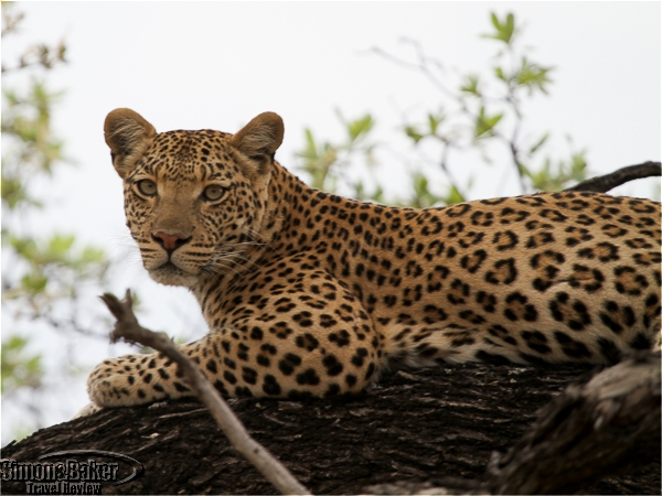 Leopard in a tree near Camp Moremi