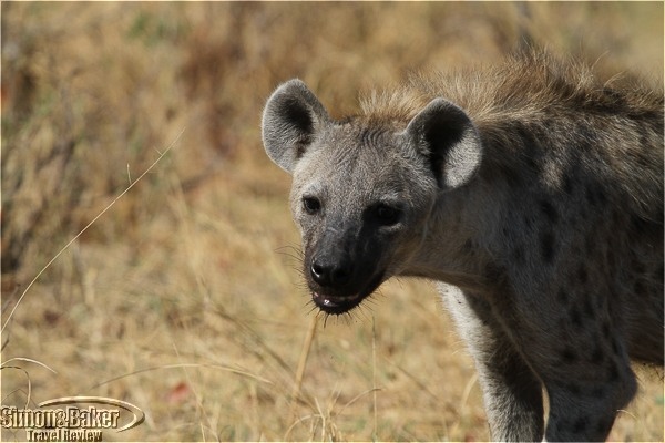 A hyena in the Moremi park