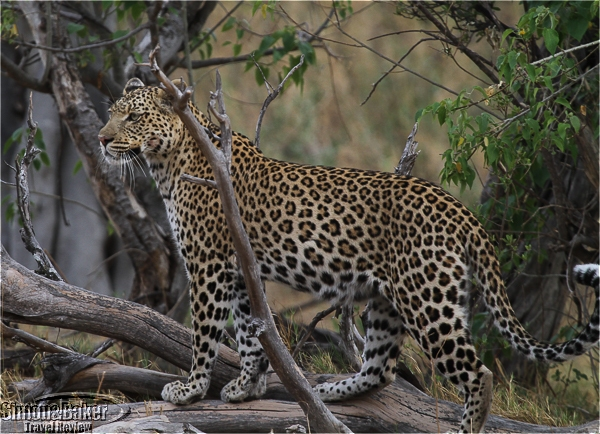 Our only leopard sighting in Botswana
