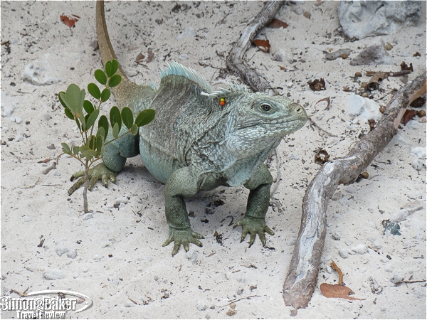 One of the male Turks and Caicos rock iguanas we saw