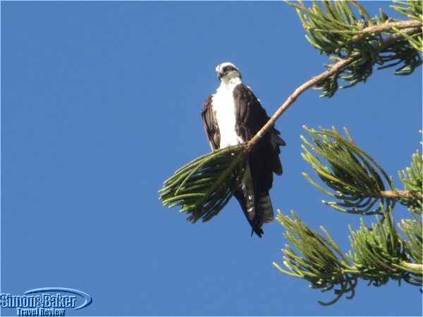 An osprey caught our attention while out walking