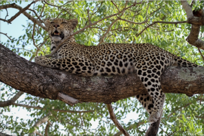 Leopard on a tree at Rattray's