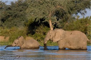 Elephants enjoy a cooling late afternoon wade
