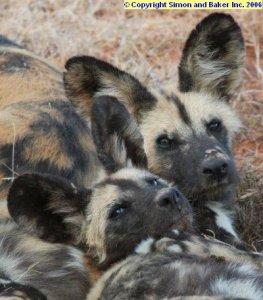 Wild dogs at Shamwari